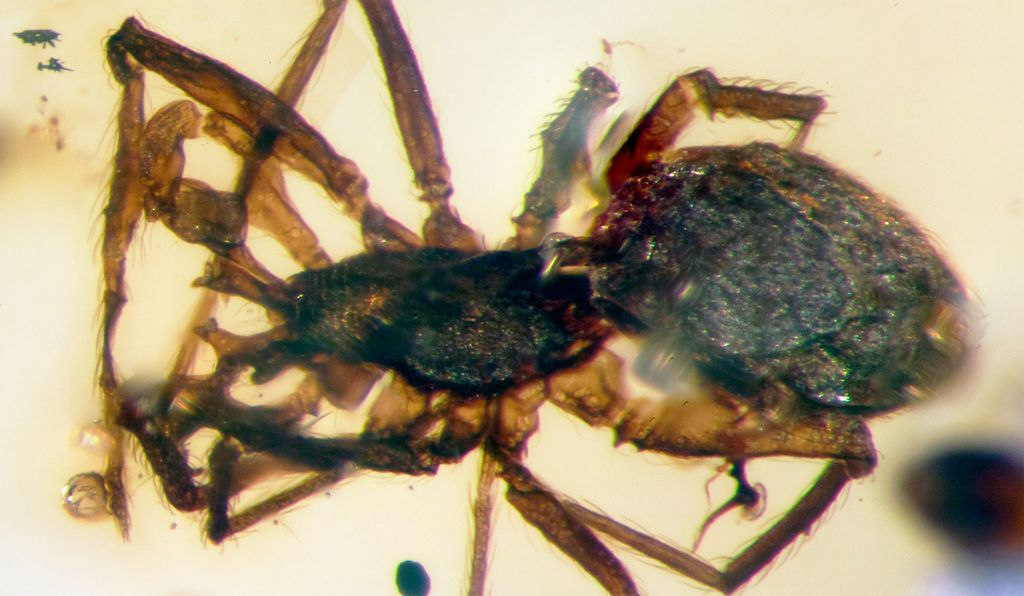 These ancient arachnids represent a new tropical genus and species for scientists.