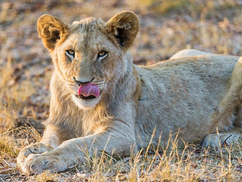 e511e6cd Yes, Lions Will Hunt Humans if Given the Chance | Smart News ...