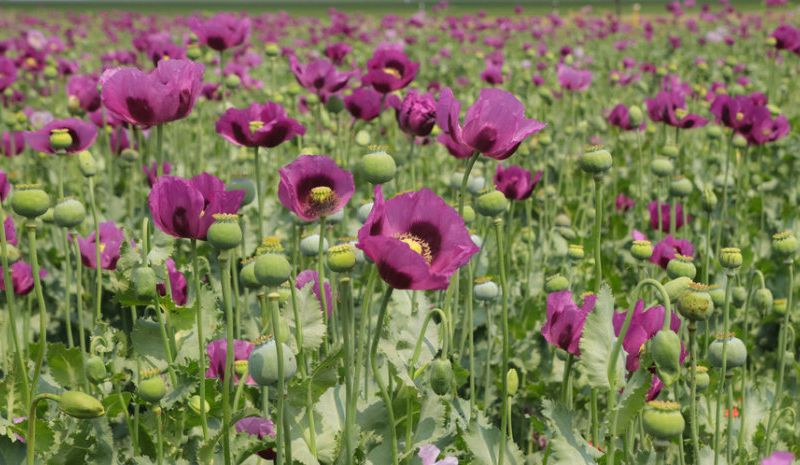 Genome reveals when opium poppy became a painkiller smart news poppies mightylinksfo