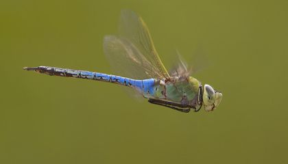 Dragonflies Embark on an Epic, Multi-Generational Migration Each Year