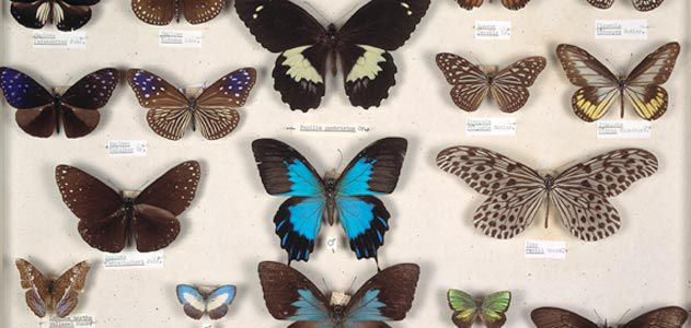 Wallaces butterflies