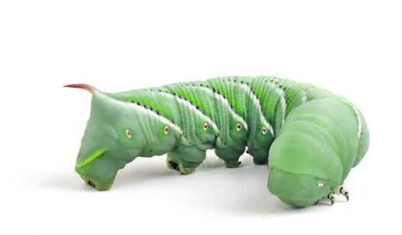 Preview thumbnail for video'SmartNews: Tobacco Hornworm
