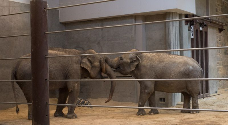 Two female Asian elephants interacting at the Smithsonian's National Zoo. One elephant wraps her trunk around the other elephant's trunk in a display of dominant behavior.