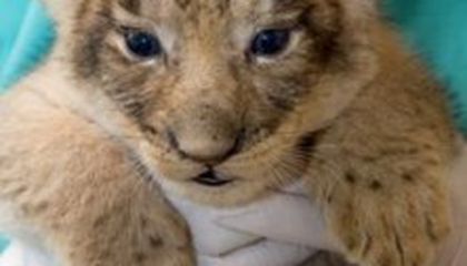 First Pictures of the Zoo's Lion Cubs