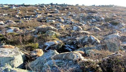 What the Deaths of More Than 300 Reindeer Teach Us About the Circle of Life