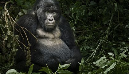 Protected Mountain Gorilla Population Rises by Ten Percent in Two Years