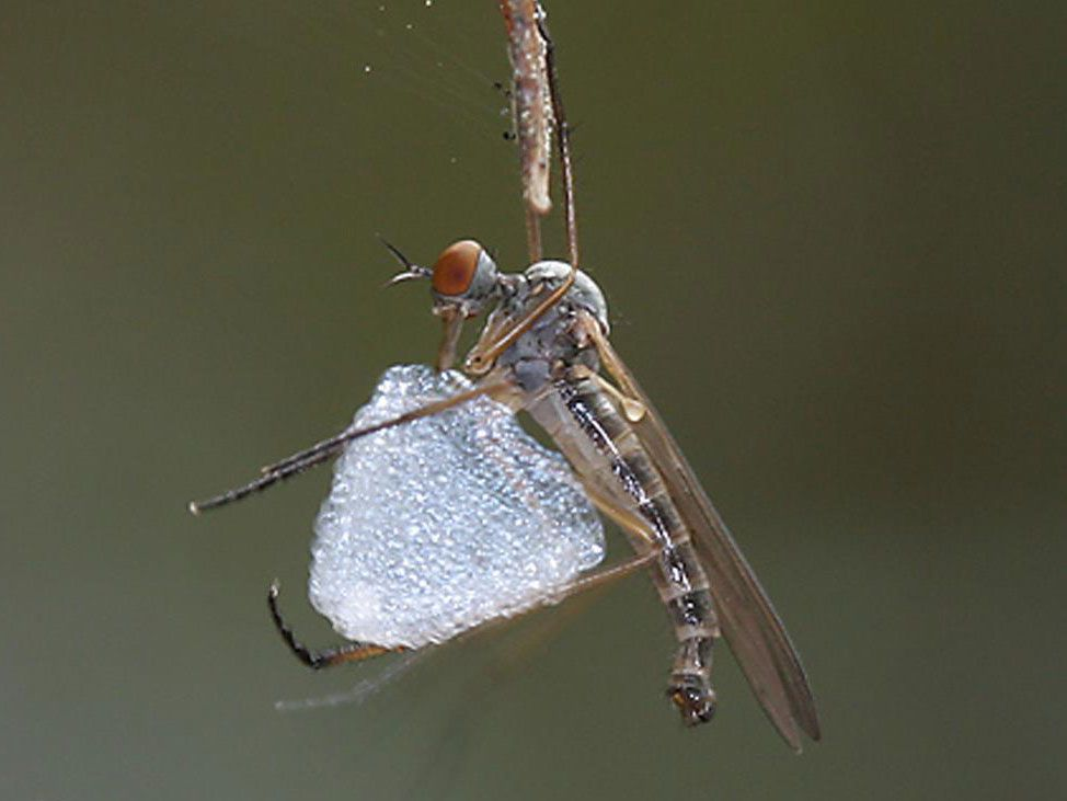 An insect holding a silk balloon.