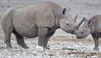 Researchers are Fitting Rhinos With Hidden Horn Cameras