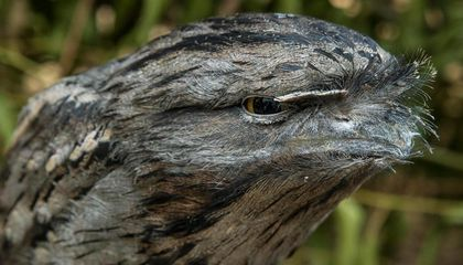 The Eccentric Frogmouth Is the Most Camera-Ready Bird on Instagram
