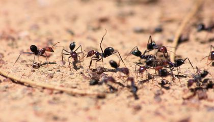 Antennae Yield New Clues Into Ant Communication