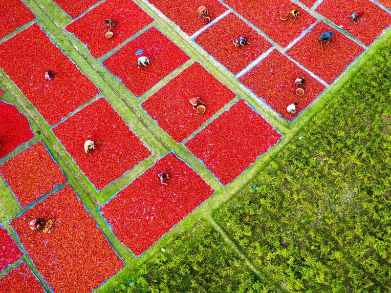 Hundreds of farmers and their produced Red chillies create this stunning red carpet on a field of Panchagarh a Northern district of Bangladesh. farmers are drying up their red chillies on a sunny day.