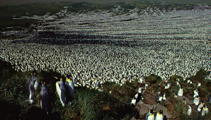 World's Largest King Penguin Colony Suffers an 85 Percent Crash