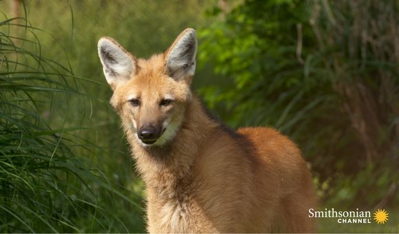 Preview thumbnail for video'Wild Inside the National Zoo: The Future of Maned Wolves