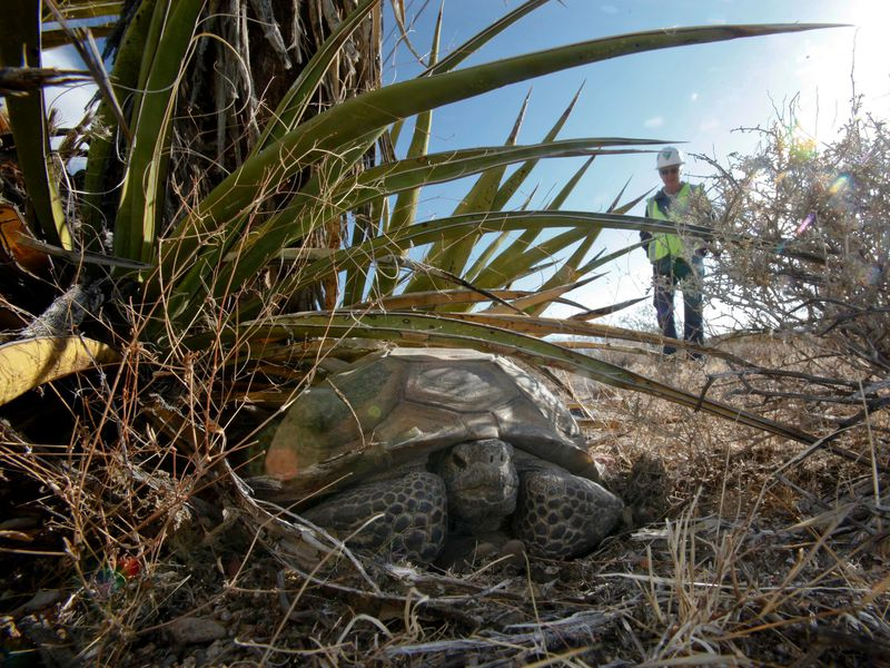A California biologist watches an old male desert tortoise from a distance.