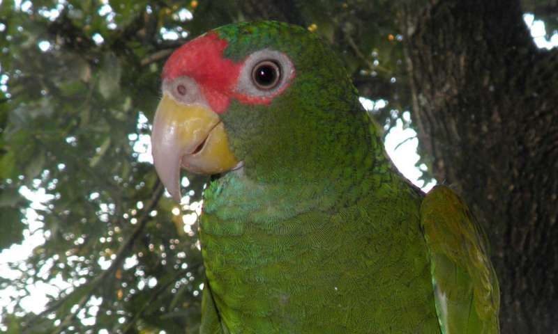 blue-winged amazon.jpg
