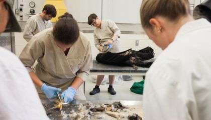 Behind the Scenes: Skinning Condors in the Name of Science