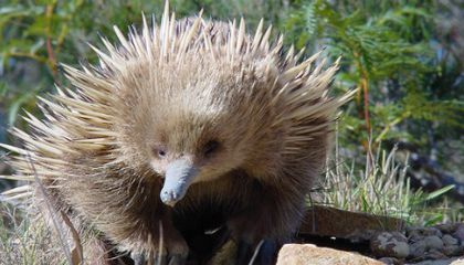 What In The World Is An Echidna?