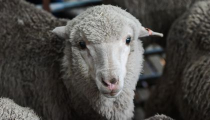 Healthy Baby Lambs Born Using World's Oldest Sperm