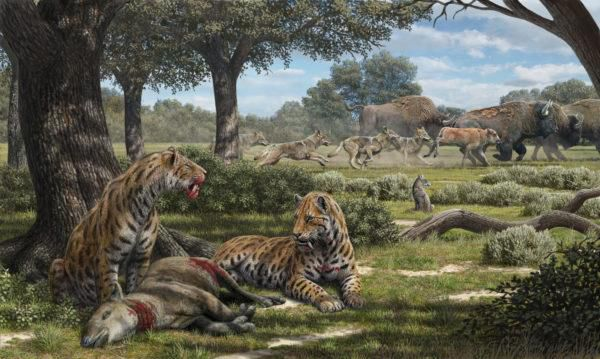 Fossils Reveal Why Coyotes Outlived Saber-Toothed Cats