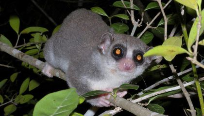 How Studying Lemur Hibernation Could Make Long-Distance Space Travel Easier One Day