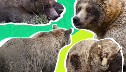 Holly Cow! Fattest Bear of Them All Claims Coveted Title
