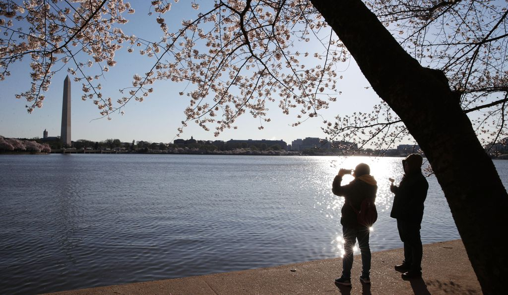 The National Park Service said this year's cherry blossoms reached peak bloom on April 1st.