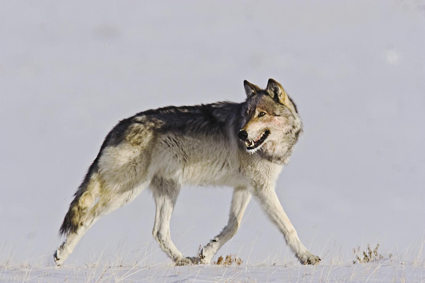 Wolves And The Balance Of Nature In The Rockies Science
