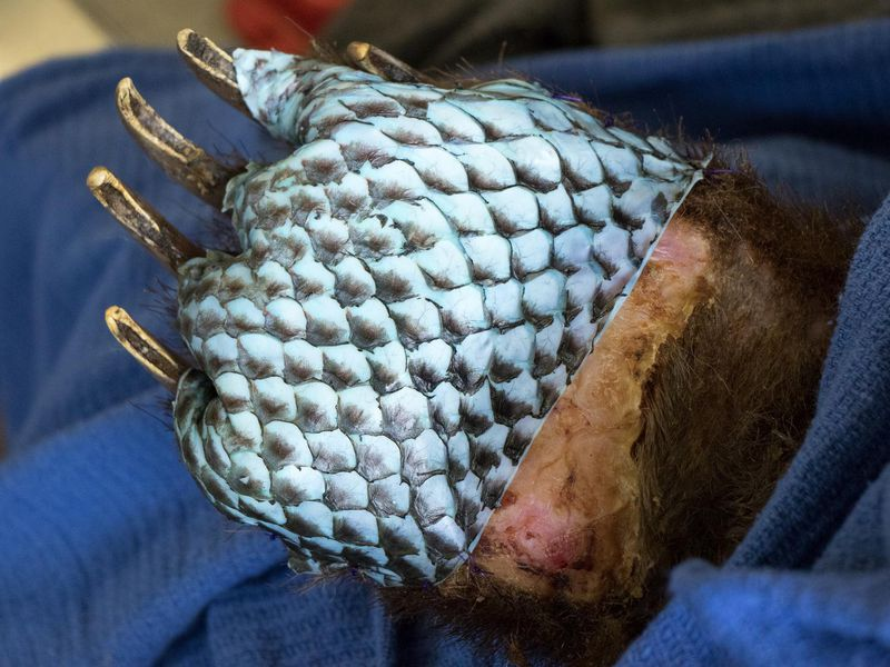 Fish Skin Heals Bears' Burned Paws