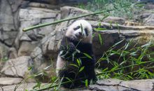Giant Panda Cub Xiao Qi Ji's Best Moments—in Video