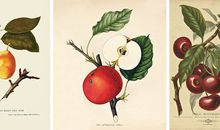 The Red Astrachan apple