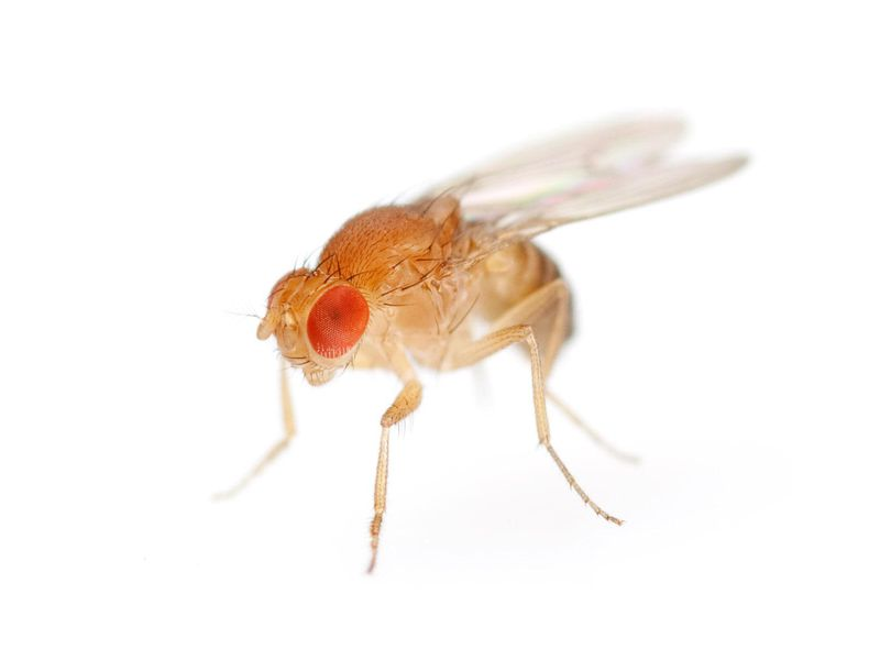 fruit fly.jpg