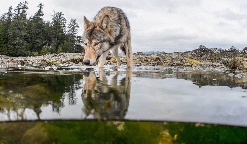 Vancouver Island gray wolves eat the bounty from the sea, particularly salmon.