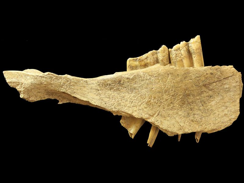 horse mandible