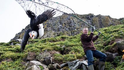 Disappearing Puffins Bring an Icelandic Hunting Tradition Under Scrutiny