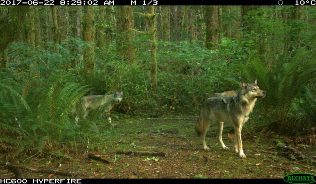 The conflicts between gray wolves cruising through Pacific Rim National Park Reserve and off-leash dogs are a growing concern.