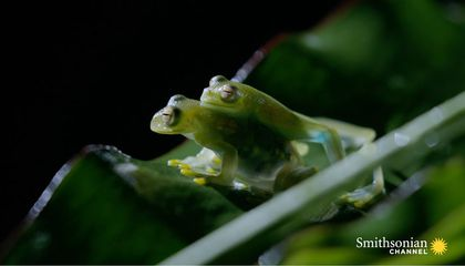 Fascinating: How Transparent Glass Frogs Mate