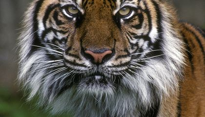 This Song (And This Tiger) Will Go Extinct Unless We Save It