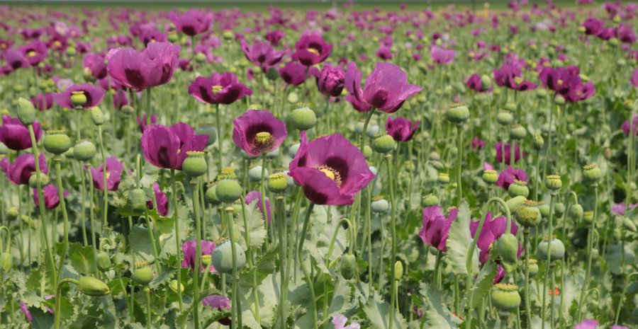 Genome reveals when opium poppy became a painkiller smart news genome reveals when opium poppy became a painkiller smart news smithsonian mightylinksfo