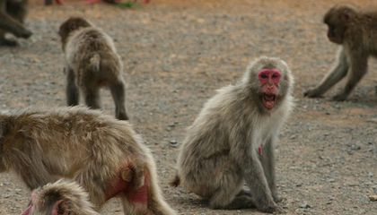Whether Monkey or Human, Middle Managers Are the Most Stressed Out