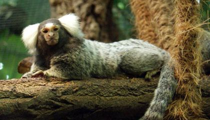 How Marmosets Can Teach Us About Obesity