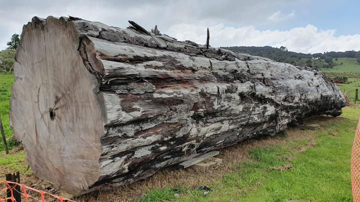 An ancient kauri tree log from Ngāwhā, New Zealand