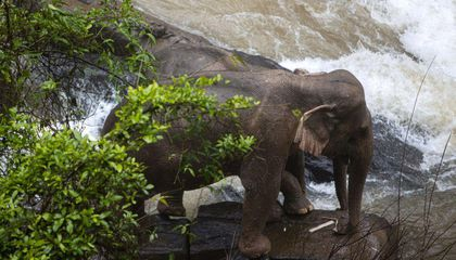 Six Elephants Die After Plummeting Down a Waterfall in Thailand