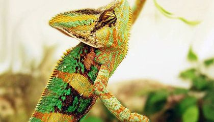 The More Rainbow Bright a Chameleon, the Greater His Battle Prowess