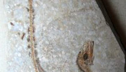 Fossil Feathers May Preserve Dinosaur Colors