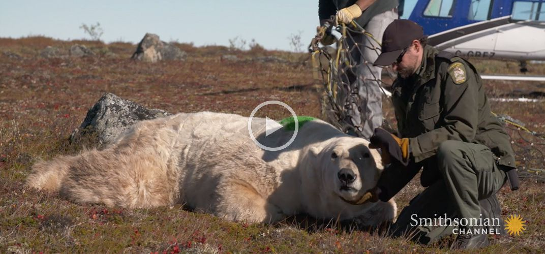 Caption: A Polar Bear Released Back Into the Wild by Helicopter