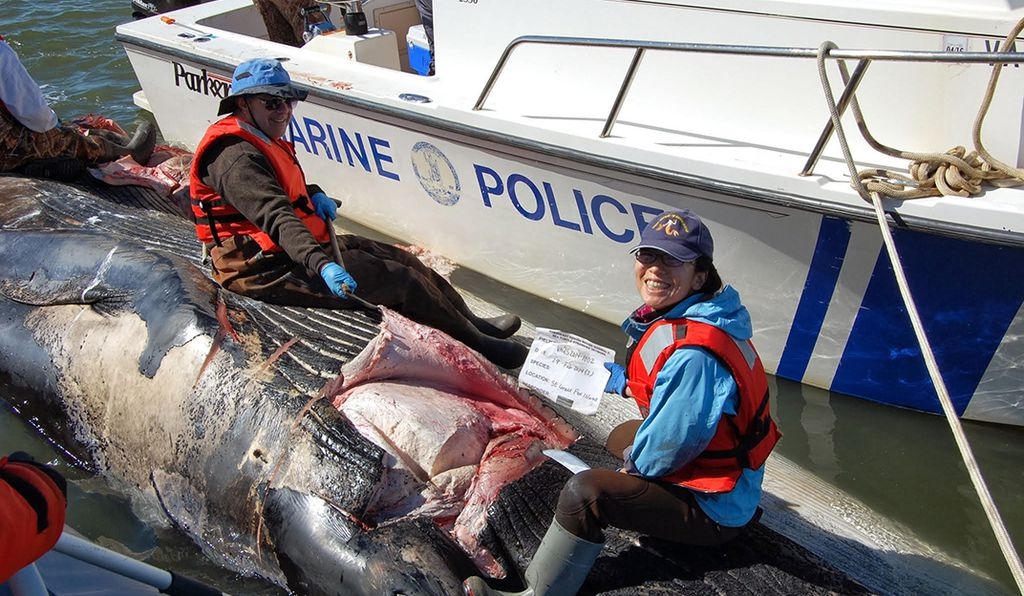 Maya Yamato (right) and a colleague dissect the head of a deceased stranded fin whale in the Chesapeake Bay to examine soft tissue associated with the ears.