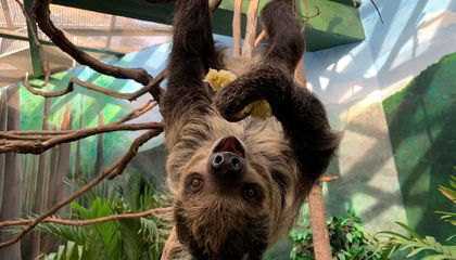 Will Love Bloom Between Two Sloths at the National Zoo?