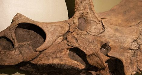 The reconstructed skull of Eotriceratops