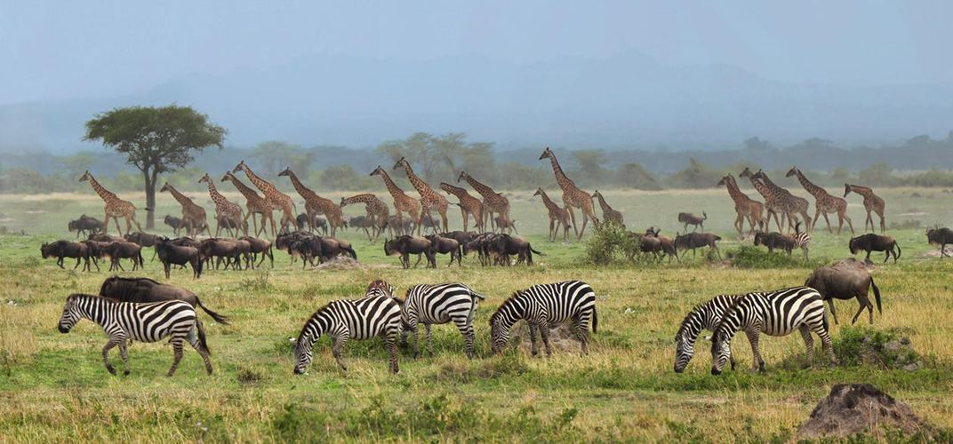 Scene from the Great Migration. Credit: Kirt Kempter