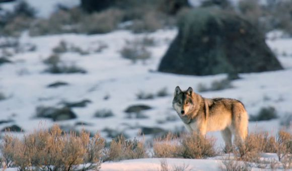 Preview thumbnail for video'Casey Anderson's Wild Tracks: Wolves on the Hunt